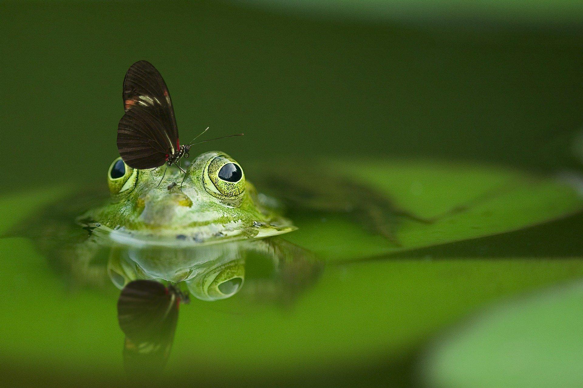 papillon sur une grenouille
